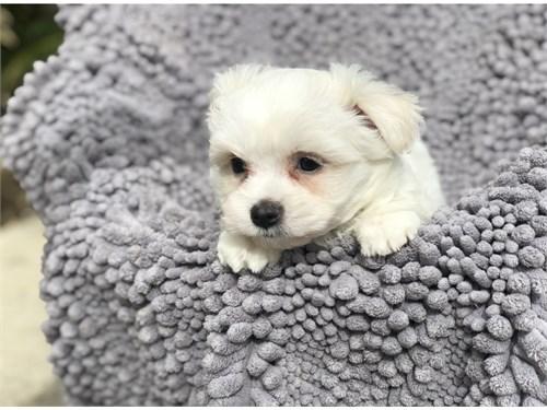 Cute Maltese Pup