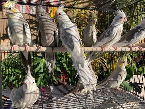 Beautiful Cockatiels