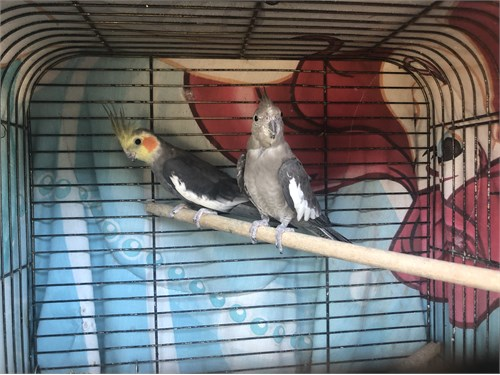 Proven pair of cockatiels