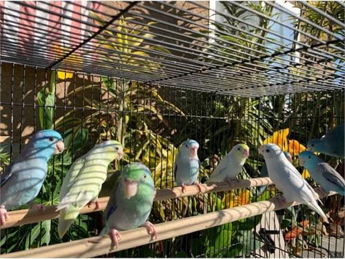 Beautiful Parrotlets