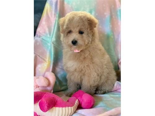 Female Goldendoodle Puppy