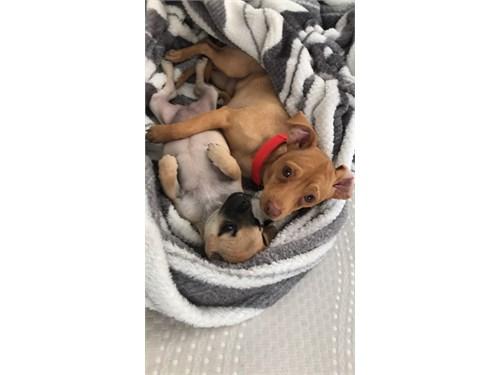 Mini Chihuahua/ Pug Mix