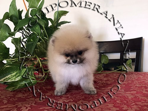 AKC Teacup Female Pom