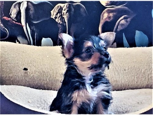 YORKI TERRIER PUPPIES