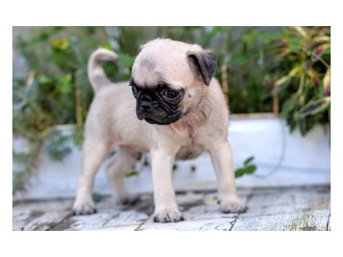 Adventurous Pug puppies
