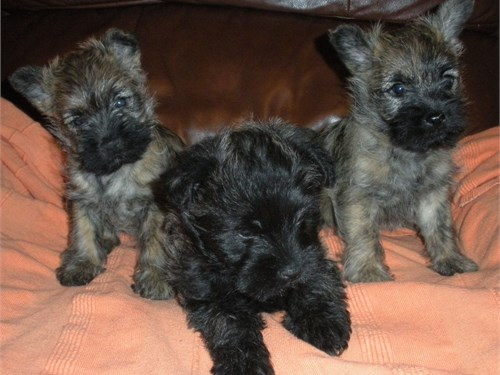 miniature schnauzer puppi
