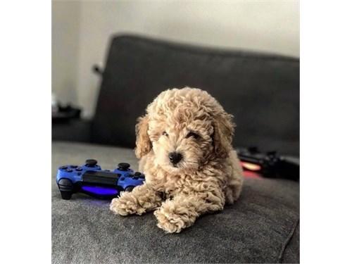 Teddy poodles.