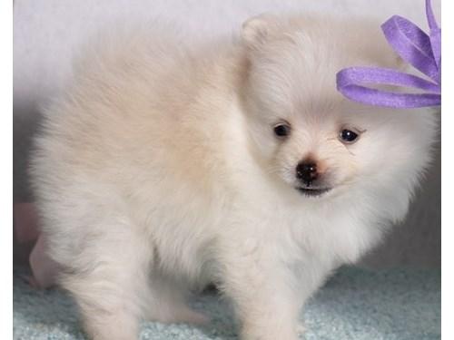 Ambitious Pomeranian