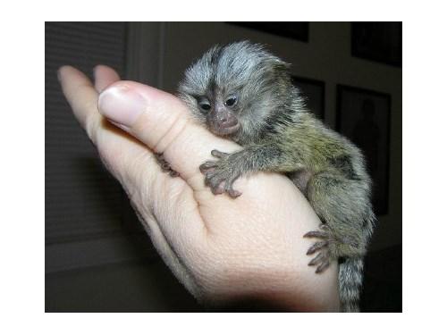 Adorable Mamoset monkey