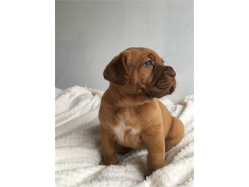 Dogue de bordeaux pups