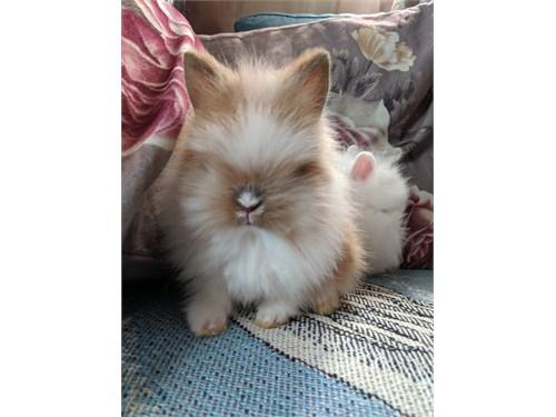 Lionhead bunnys