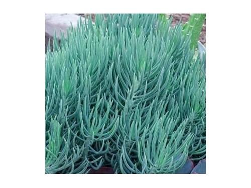 Blue Senecio Succulent