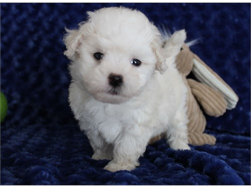 Toy size Female maltipoo