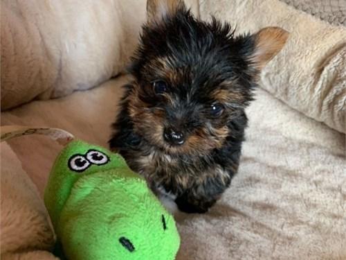 Tiny Teacup Yorkie Pups