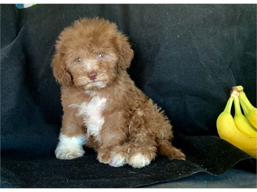 CHOCOLATE MALTIPOO PUPPY
