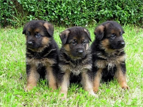 DSFGRH Shepherd Pups