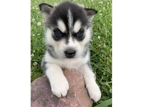 Calm Siberian husky pup