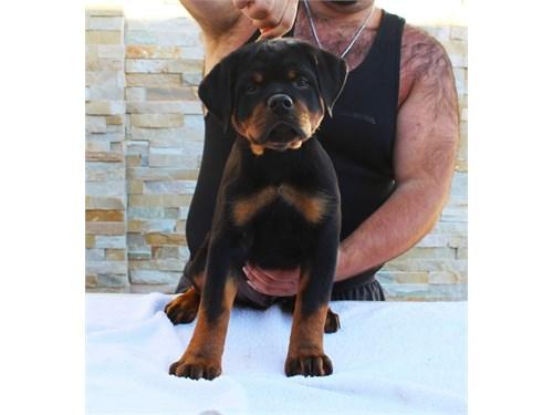 AKC German Rottweiler Pup