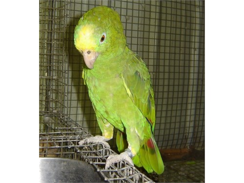 Panama Amazon parrot