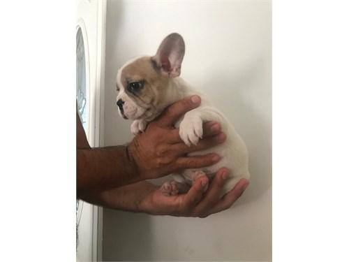 French bulldog merle!!
