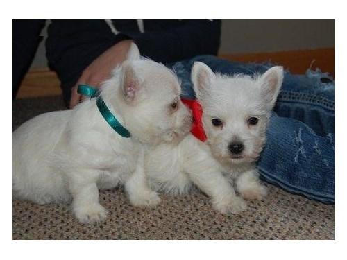 West Highland White Terri