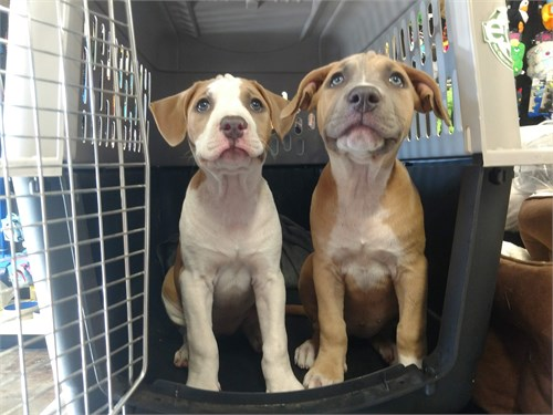 female Pitbull Puppies