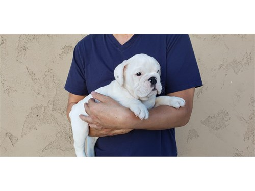 All White Bulldog Puppy