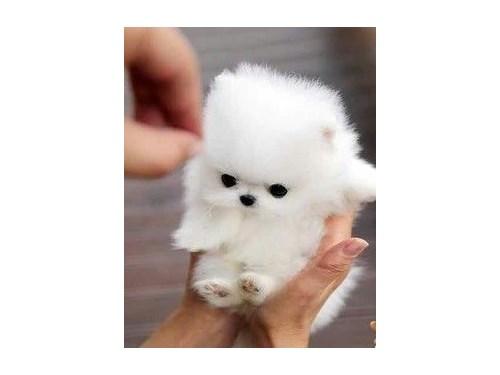 Tcup Pomeranian Pups