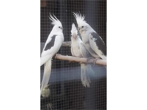 Sweet Cockatiels