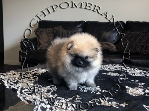 AKC Teacup Female Pom-2