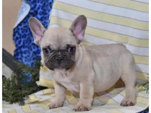 French Bulldog Puppies Av