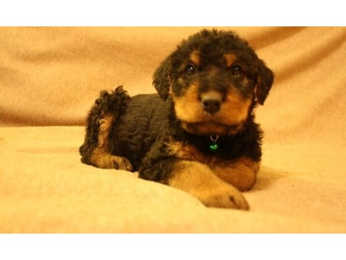 Beefy Airedale Terrier