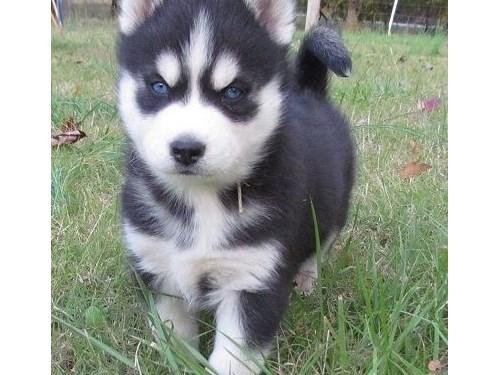 Available Siberian Huskie