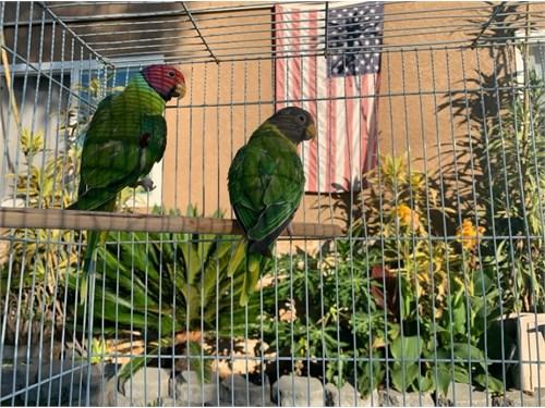 Plum Headed Parrots