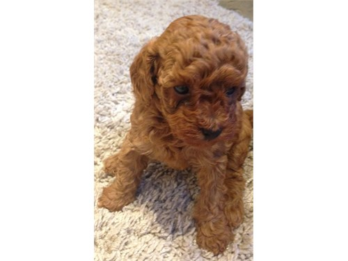 Deep Red Toy Poodle