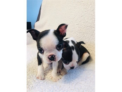 Say Boston terrier