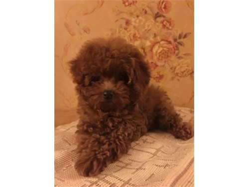 AKC Red Poodle Puppies