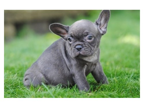 Sweet French bulldog