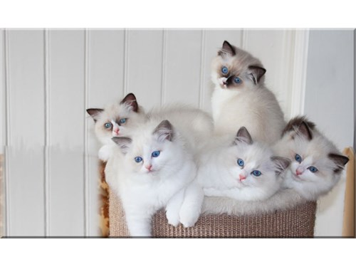 Amazing ragdoll cats