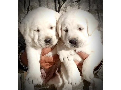 White Labrador Pups