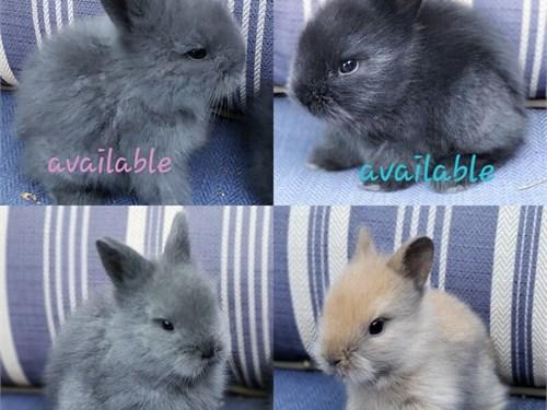 Dwarf Lionhead bunnies!