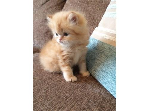 Lovely persian kitten