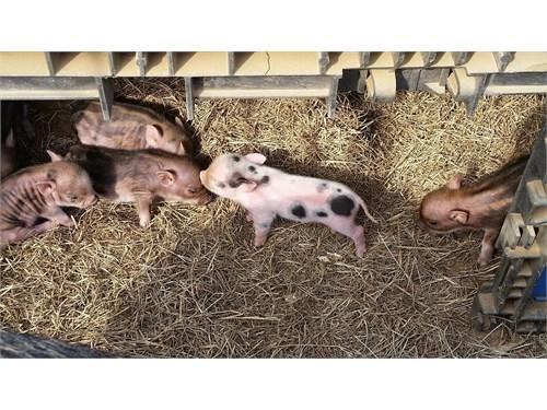 Mini Potbelly Pigles