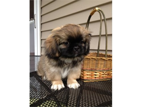 Pekingese Puppies for Sal
