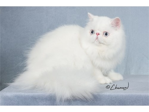 Top Quality White Persian | Pets | Los Angeles CA | recycler com