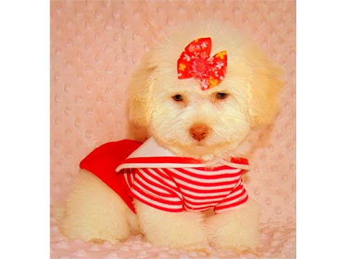 Poodle/toy female