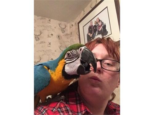 Two beautiful macaw