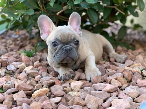 Akc French Bulldog Pups