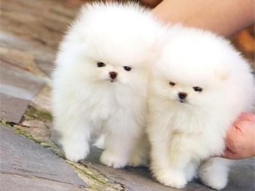 Charming Pomeranian Puppi