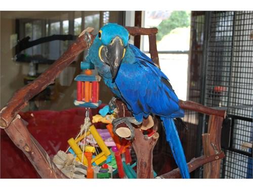 Handfed Hyacinth macaw